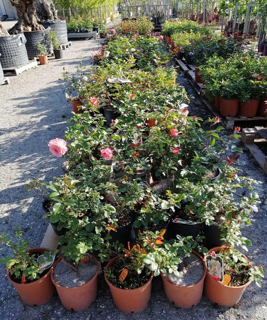 Rosa Rampicante In Vaso rose e fiori in vaso di ogni qualità e colore e forma
